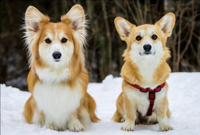 Ce chien est plus long que haut et porte ses oreilles bien vers le haut ; son corps ressemble à celui du Basset. Il est toujours tacheté de blanc. La Reine Elisabeth II l'a adopté depuis longtemps, pourtant c'est un chien qui se fait entendre :