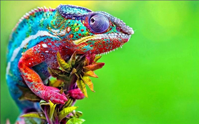 Le caméléon a un champ visuel très rétréci.