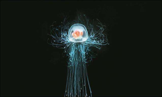 La petite méduse, 'Turritopsis dohrnii' est biologiquement immortelle.
