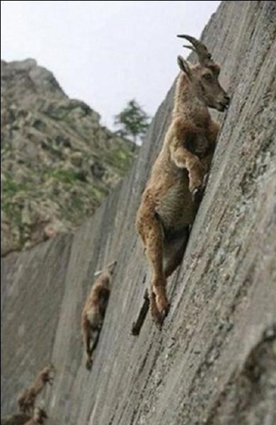 Le bouquetin des Alpes peut marcher quasiment à la verticale.