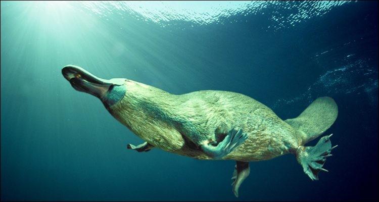 L'ornithorynque est un des très rares mammifères à pondre des oeufs.