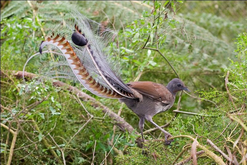 'L'oiseau-lyre' est capable d'imiter tous les sons, même les son artificiels de son environnement.