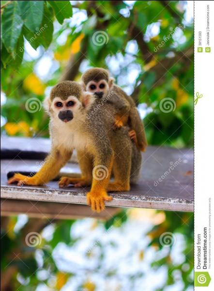 Quel est le nom de ce petit singe ?