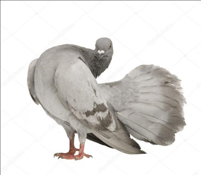 De quelle espèce fait partie ce pigeon ?