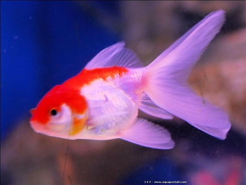 À quelle espèce appartient ce poisson rouge ?