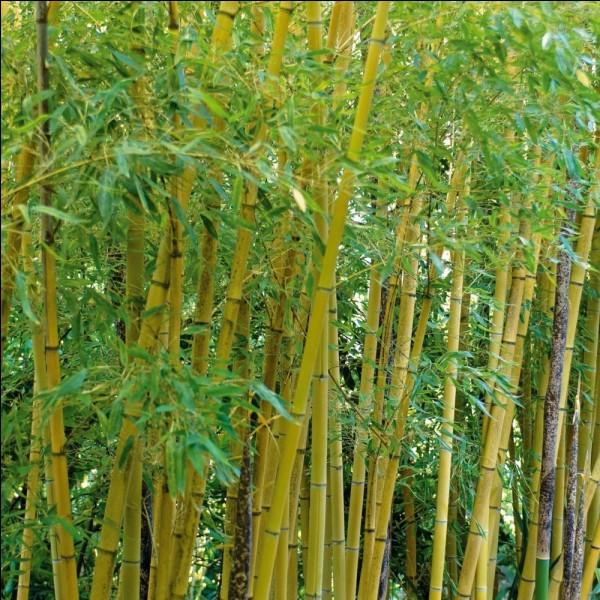 Le bambou libère plus d'oxygène qu'un arbre normal.