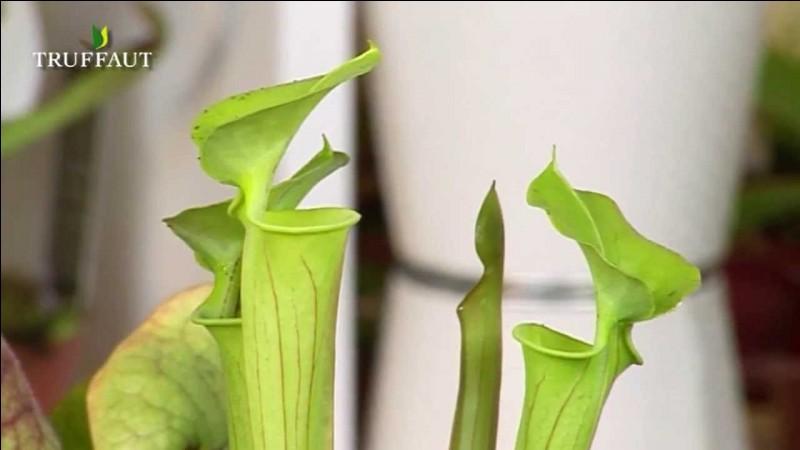 Toujours sur les plantes carnivores, comment font-elles pour attirer leurs proies ?