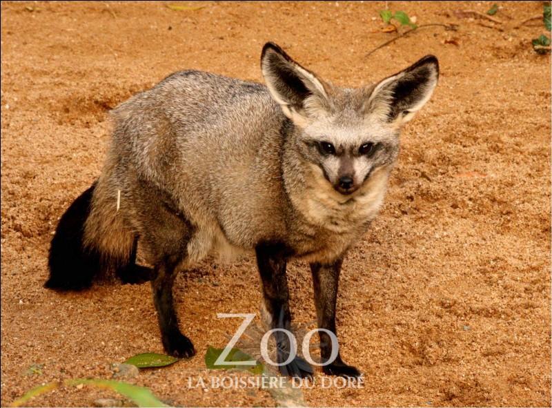 Cet animal est un otocyon.