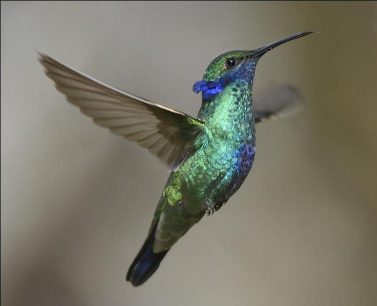 Les colibris savent voler à reculons.