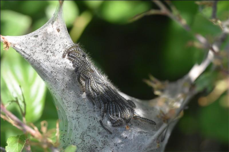 Cette photo montre un nid de chenilles processionnaires.