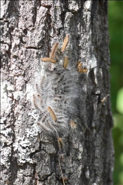 Cette photo montre des chenilles processionnaires du chêne.