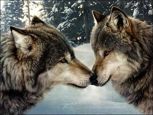 Le loup est :