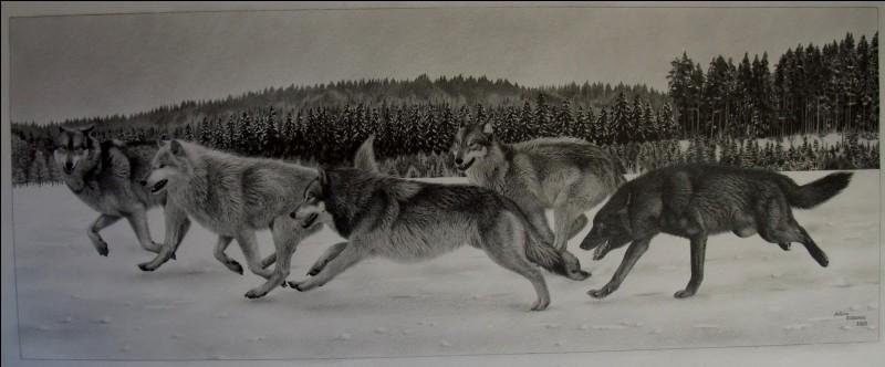Combien de membres y a-t-il dans une meute de loups ?