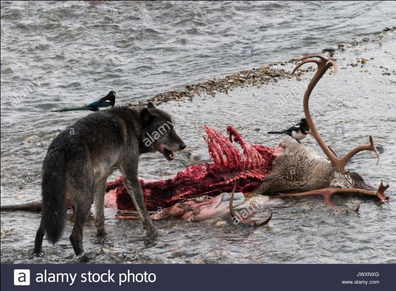 """Comment le loup dominant (le """"chef """") marque-t-il son morceau de viande ?(pour ne pas que les autres le lui vole)"""
