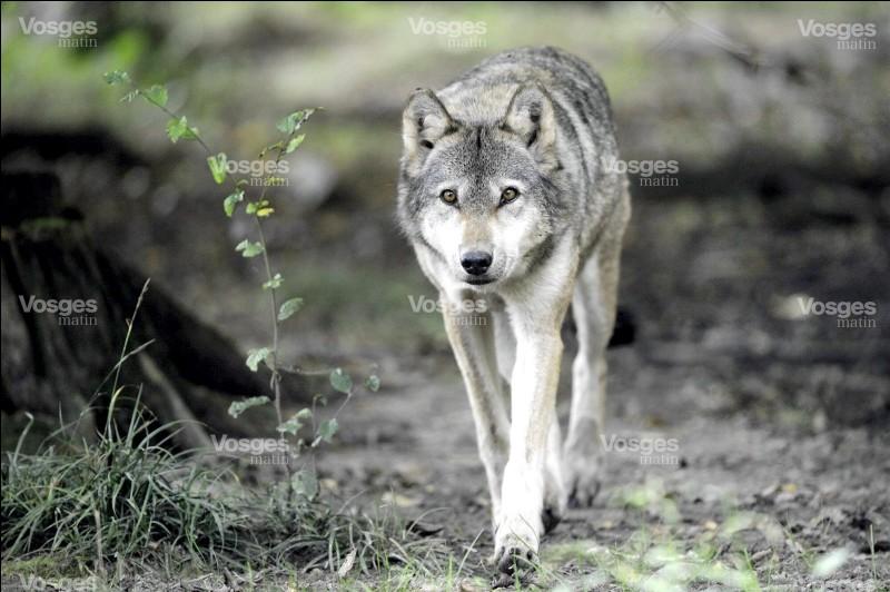 Avec quoi communiquent les loups ?