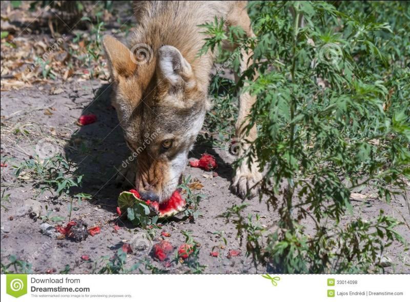 Les loups mangent en priorité :