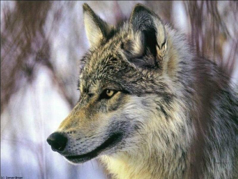 Quizz sur les loups