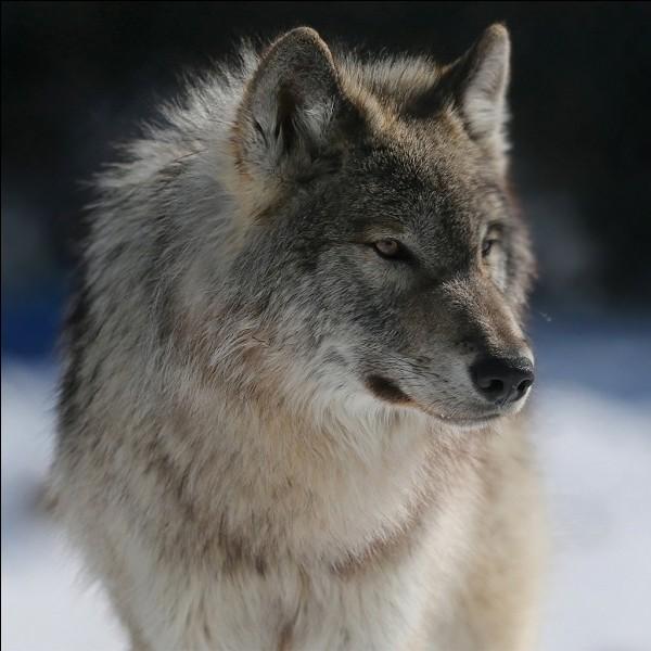 Quelle est l'espérance de vie d'un loup ?