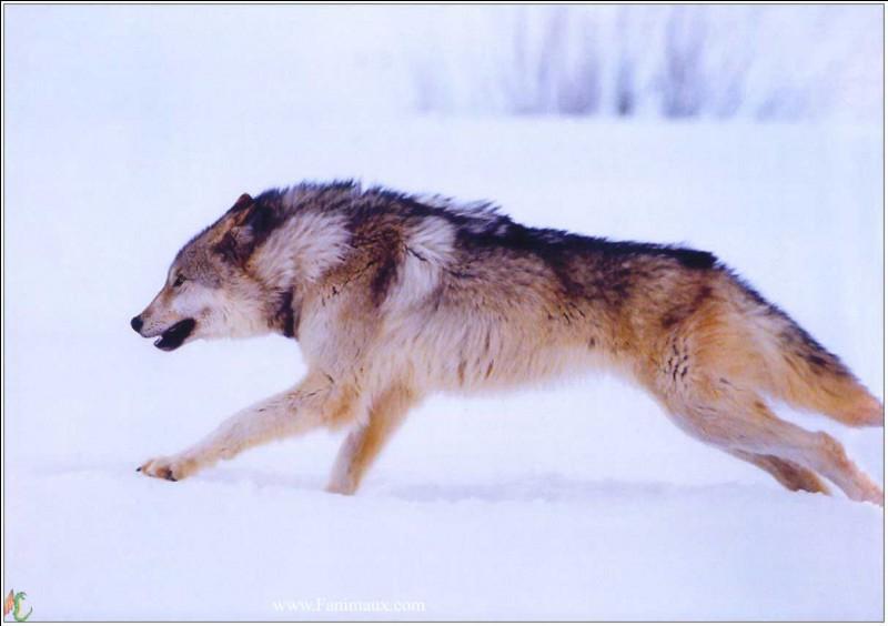 Quelle est la vitesse d'un loup ? (en course)