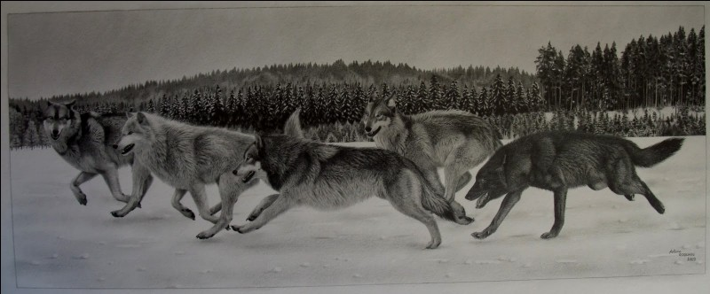 Combien de loups peuvent faire partie d'une meute ?