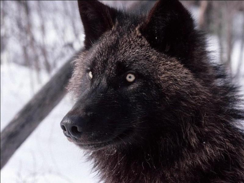 Comment appelle-t-on un loup âgé de 6 à 12 mois ?