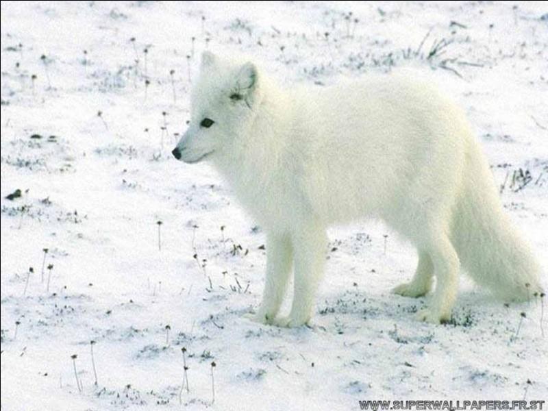 De quel continent le loup est-il originaire ?