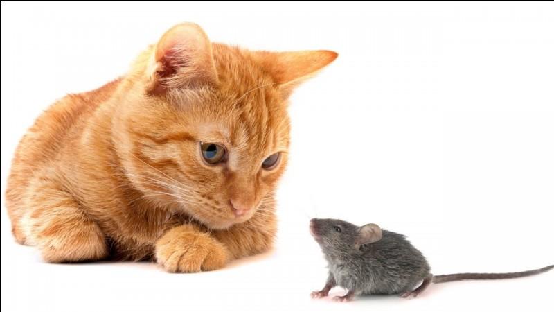 C'est le ... d'une souris dans ... d'un chat !