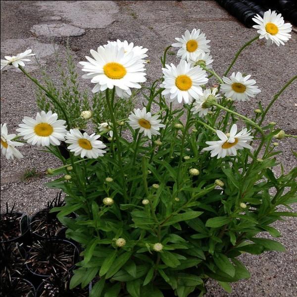 Comment s'appelle cette jolie fleur ?