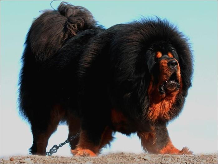 Ce chien originaire du Tibet est vraiment énorme ! Mais à votre avis, montage ou vraie image ?