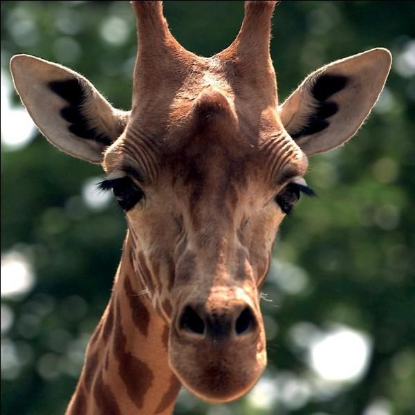 Quelle taille mesure une girafe ?