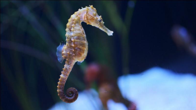 Où le mâle hippocampe garde-t-il ses œufs ?