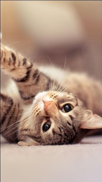 Combien de races de chats existe-t-il ?