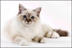 Quelle race de chat vient de Birmanie ?