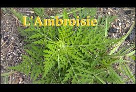Comment est appelée l'ambroisie au Québec ?