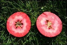 Le Calypso est le nom d'un cultivar de pommier domestique d'origine suisse.