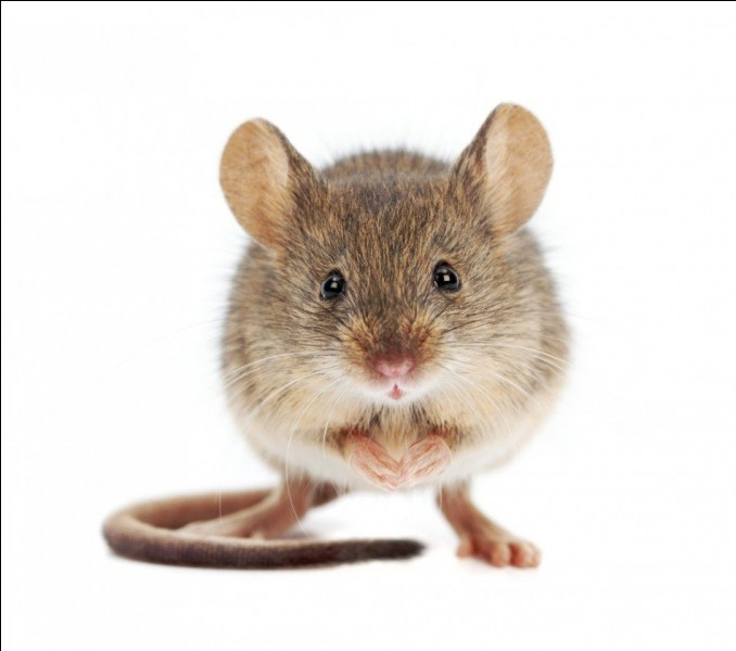 Que font les souris lorsque le chat n'est pas là ?