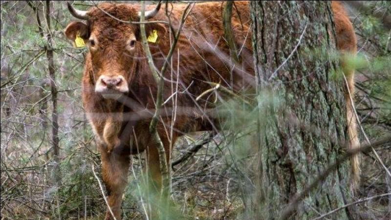 Un citron et une vache décident d'attaquer une banque, le citron entre dans la banque et crie : Les mains en l'air, pas un zeste, la vache entre à son tour et crie :
