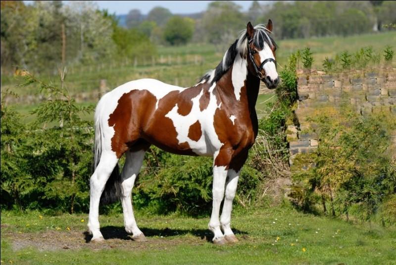 Comment s'appelle cette robe de cheval ?