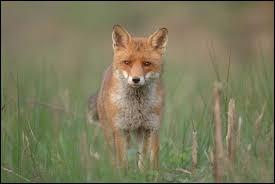 Terminez à présent ce proverbe français : Tu sembles le renard, et tu n'en as que... (l'apparence).