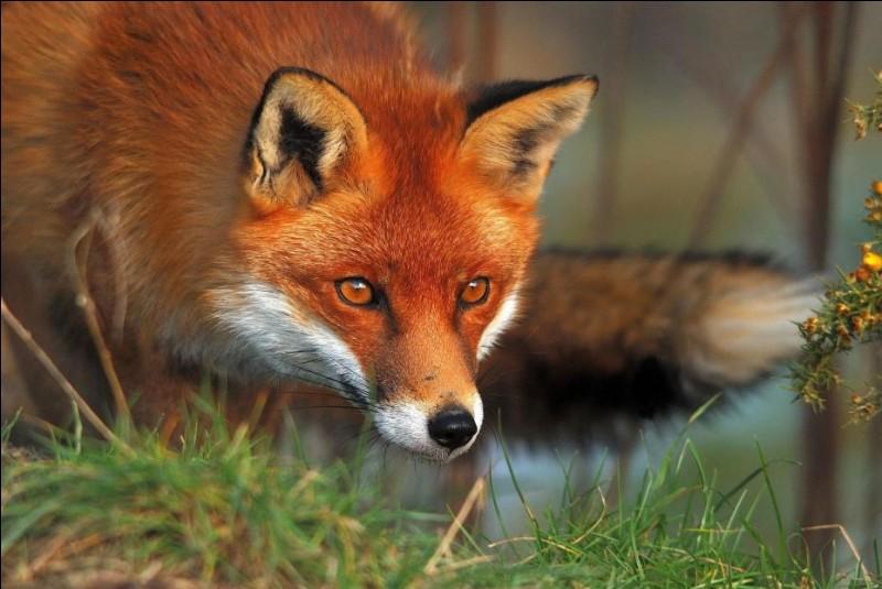 Et quel mot ou groupe de mots manque-t-il à cette citation de Suétone ? Un renard change ..., non de caractère.