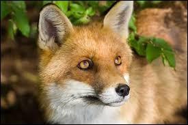 Complétez ce proverbe grec antique : Le renard qui attend que la poule ... reste affamé.