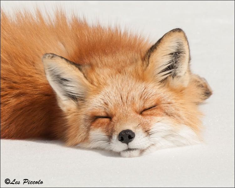 Terminez ce proverbe français : Renard endormi ne prend pas de...