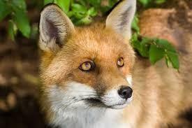 Autour des renards - Citations et proverbes