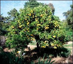 Sur quel arbre poussent les oranges ?