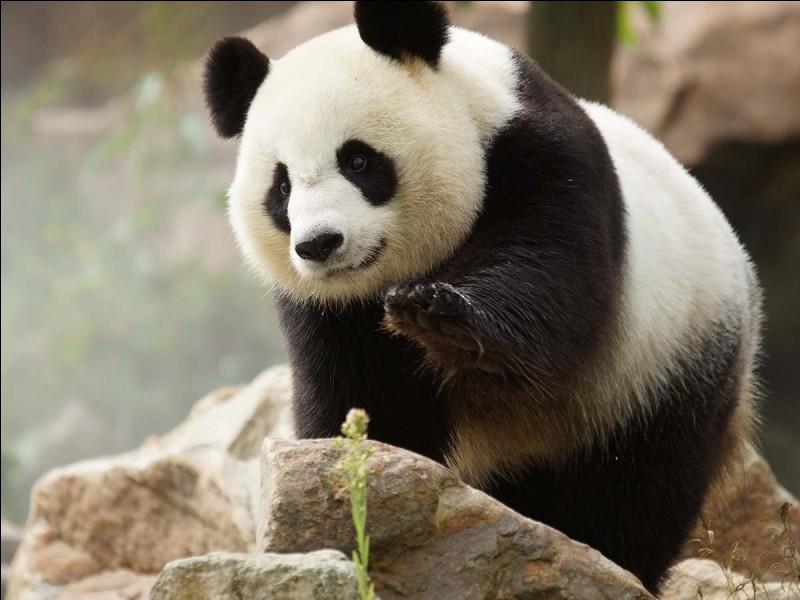 Au Népal le mot panda signifie...