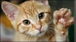 Et complétez celle-ci de Colette : À fréquenter les chats, on ne risque que de...