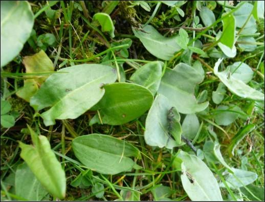 Les feuilles de bourrache servent à...