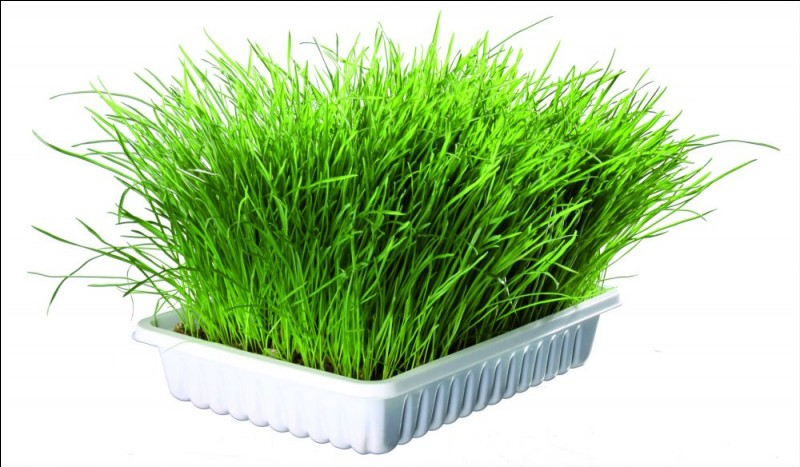 L'herbe à chat sert à...