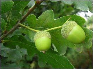 De quel arbre le gland est-il le fruit ?