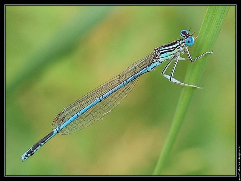 Cet insecte appartient à l'ordre des odonates, identifiez-le !